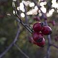 Autumn Berries by Miguel Winterpacht