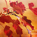 Red Blaze by Pam  Holdsworth