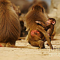 Baboon Family In The Desert by Nick  Biemans