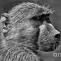 Baboon by Mareko Marciniak