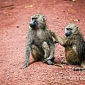 Baboons In African Bush by Michal Bednarek
