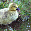 Baby Canada Goose by Rob Andrus