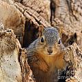 Baby Fox Squirrel by Lori Tordsen