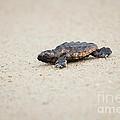 Baby Loggerhead Sea Turtle Amelia Island Florida by Dawna Moore Photography