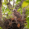 Baby Red Shouldered Hawk by Jai Johnson