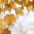 Backlit Maple Leaves In Fall by Elena Elisseeva