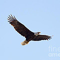 Bald Eagle Calling by Lori Tordsen