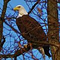 Bald Eagle Christmas Present by William Fox