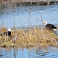 Bald Eagle Pair by Thomas Phillips