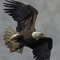Bald Eagle  by Rob Mclean