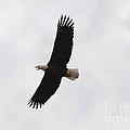 Bald Eagle Soaring by Lori Tordsen