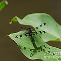 Banded Pennant Dragonfly by Donna Brown