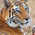Bandhavgarh Tigeress by David Beebe