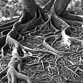 Banyan Roots - 24 X 36 by Sixth Day Photography