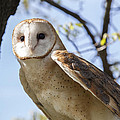Barn Owl by Jack R Perry