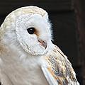 Barn Owl by Susie Peek
