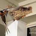 Barn Swallow by Scott Linstead