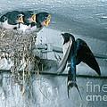 Barn Swallows by Hans Reinhard