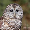 Barred Owl by Joshua Clark