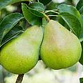 Bartlett Pears  by John Trax