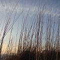 Beach Reeds by Pepsi Freund