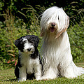 Bearded Collie And Puppy by John Daniels