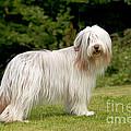 Bearded Collie Dog by John Daniels