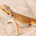 Bearded Dragon Pogona Sp. On Sand by David Kenny
