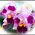 Beautiful Array Of Purple Butterfly Orchids by Yali Shi