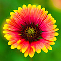 Beautiful Daisy by Raul Rodriguez