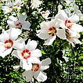 Beautiful Hibiscus by Phyllis Kaltenbach