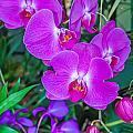 Beautiful Purple Orchid - Phalaenopsis by Alex Grichenko