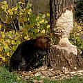 Beaver   Castor Canadensis by Carol Gregory
