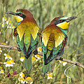 Bee-eaters by Guido Montanes Castillo