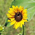 Bee Sunflower by Brandon Finister