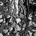 Beech Tree by David Pyatt