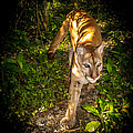 Belize Mountain Lion by Roy Bendell