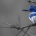 Belted Kingfisher by Brian Stevens
