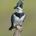 Belted Kingfisher With Fish by Anthony Mercieca