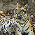 Bengal Tiger And Cub Bandhavgarh Np by Suzi Eszterhas
