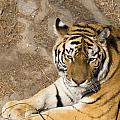 Bengal  Tiger by Todd M Bloomer