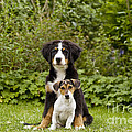 Bernese Mountain & Jack Russell Puppies by Jean-Michel Labat