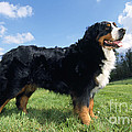 Bernese Mountain Dog by Johan De Meester