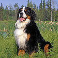 Bernese Mountain Dog by Rolf Kopfle