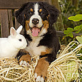 Bernese Mountain Puppy And Rabbit by Jean-Michel Labat