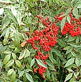 Berry Bush by Kathleen Struckle