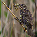 Big Dinner For Female Red Winged Blackbird I by Patti Deters