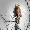 Big Horn Bald Eagle by David Armstrong