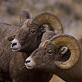 Big Horn Rams   #4664 by J L Woody Wooden