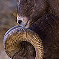 Big Horn Rams   #4732 by J L Woody Wooden